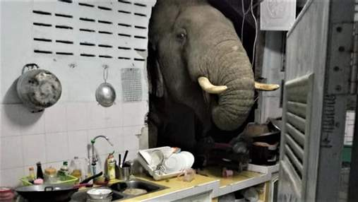 Пробил стену: в Таиланде слон вломился в дом в поисках еды – видео