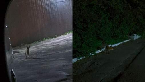 У Львові на території спорткомплексу помітили лисицю