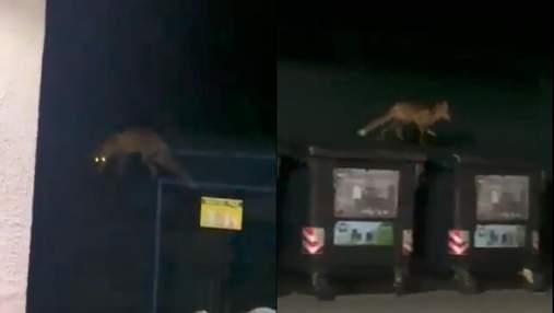 Недалеко от центра Львова заметили дикую лису: видео с места происшествия