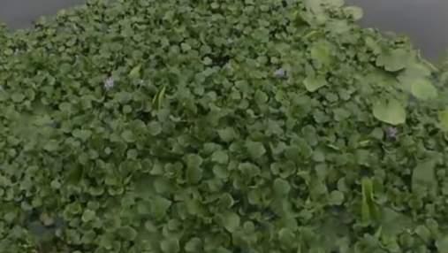"""Приток Днепра в Козине затянуло тропической """"водяной чумой"""": биологи опасаются экокатастрофы"""
