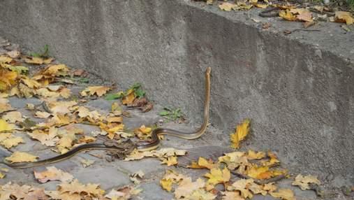 """Во львовском парке """"Высокий замок"""" появилась редкая краснокнижна змея: интересные фото"""
