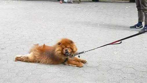 Лінувався гуляти: який спосіб прогулянки обрав хитрий пес – кумедне вірусне відео
