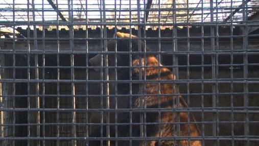 Славнозвісні ведмеді з Укрзалізниці нарешті їдуть в Нідерланди: цікаві деталі