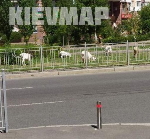 Тварини вільно гуляли вулицями Києва