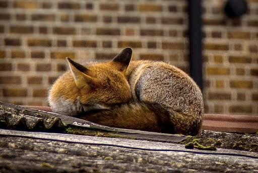 На вулицях Лондона справжнє нашестя лисиць