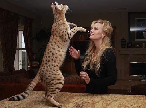 Ці пухнастики походять від диких кішок