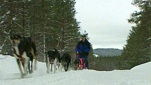 Догслей - гонки на собачьих упряжках