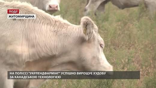 """На Поліссі """"Укрлендфармінг"""" успішно вирощує худобу за канадською технологією"""