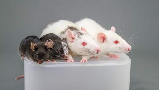 У Японії схрестять ембріон людини з щуром та свинею