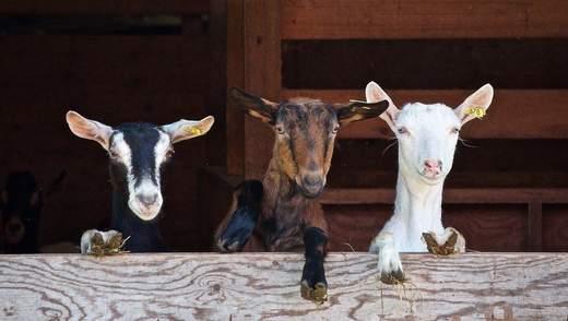 Создали ГМО-коз, которые лечат от рака