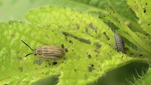 Маленький жук может спасти миллионы людей от аллергии