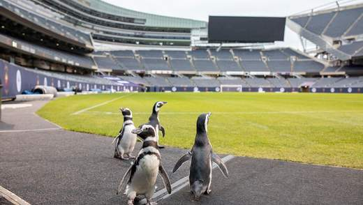 У США пінгвінам влаштували прогулянку футбольним стадіоном: милі відео