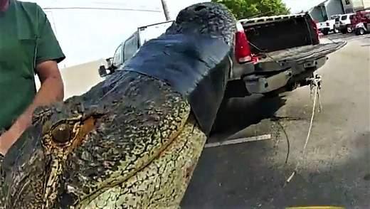 В США на парковке нашли 3-метрового аллигатора: он прятался под машиной – видео
