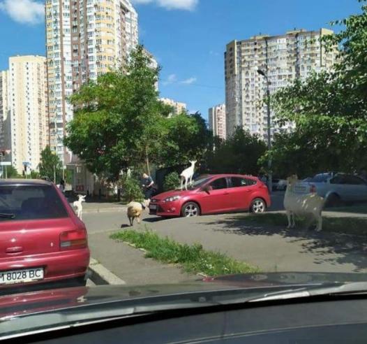 Коза на автомобілі