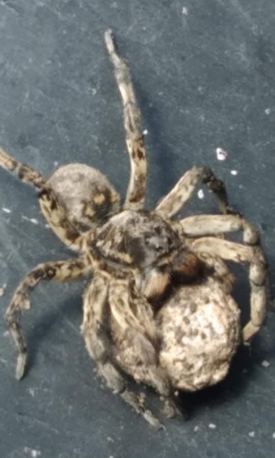 Тарантул Південноруський Дніпро Отруйний павук небезпека комахи