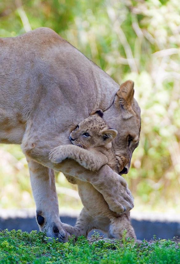 Львица Аша обнимает своего малыша в зоопарке Майами в США