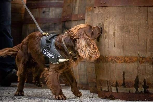 Інспектуватиме дерев'яні бочки: завод з виробництва віскі найняв на роботу собаку