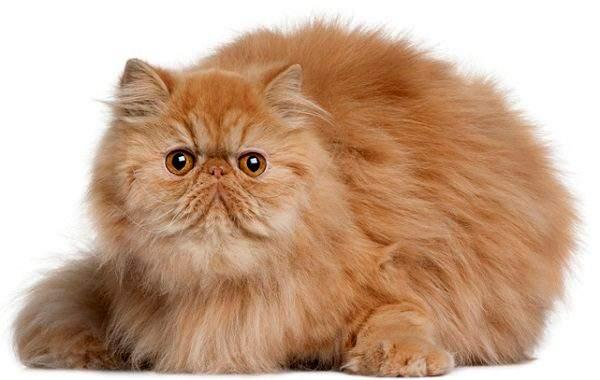 Коты-брахицефалы имеют постоянно грустное выражение морды