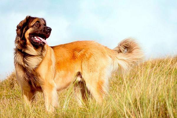 Собаки мали бути схожими на левів