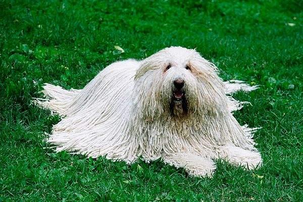 Собака породи комондор