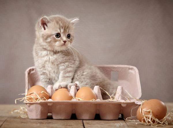 Чи можна котам яйця