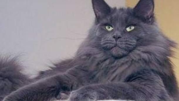 Мейн-кун - самая большая порода домашних кошек