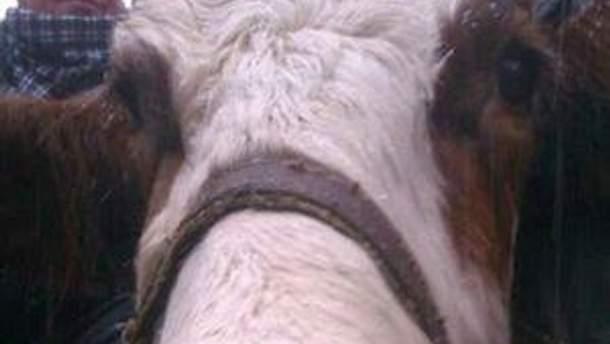 Ляшко переконував, що це його корова