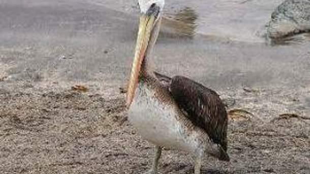 На побережье Перу по неизвестным причинам погибли более тысячи пеликанов