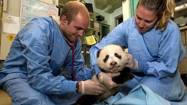 Медогляд панди