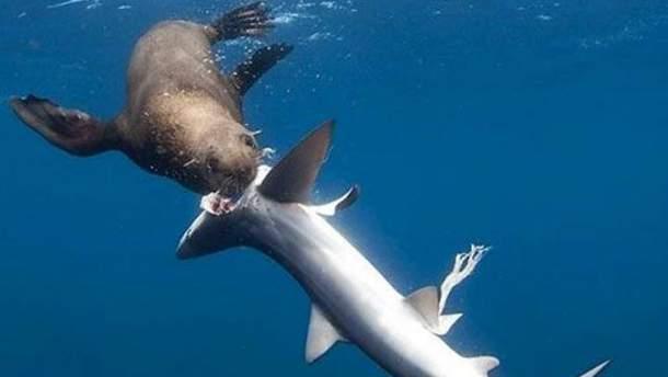 В Южной Африке тюлени начали нападать на акул (Фото)