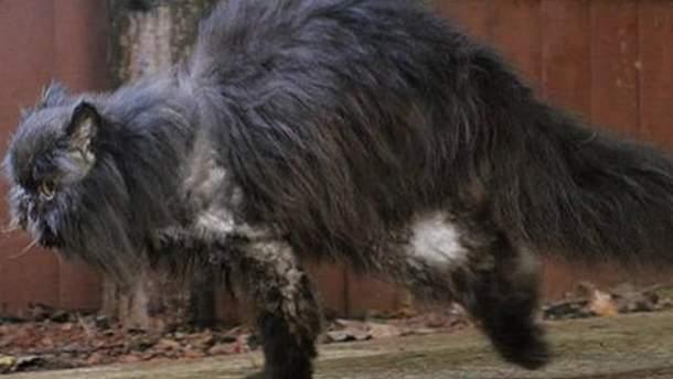 Персидський кіт ходить лише на 2 лапках (Фото, відео)