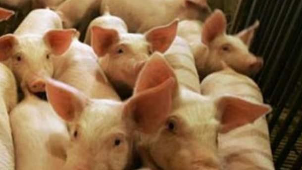 На фермі було 180 свиней