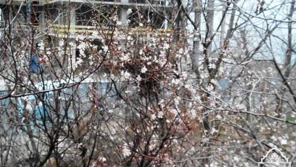 Японская слива зацвела на одесской трассе