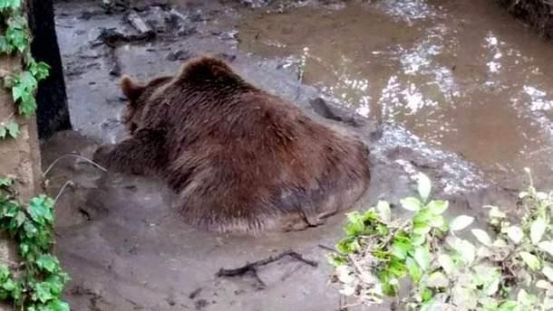 Убитый медведь