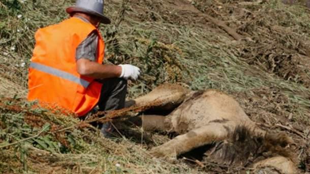 У Тбілісі лев напав на людину