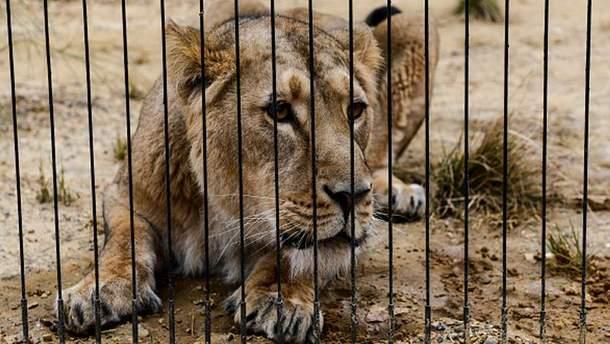 Пострадали как львы, так и мужчина