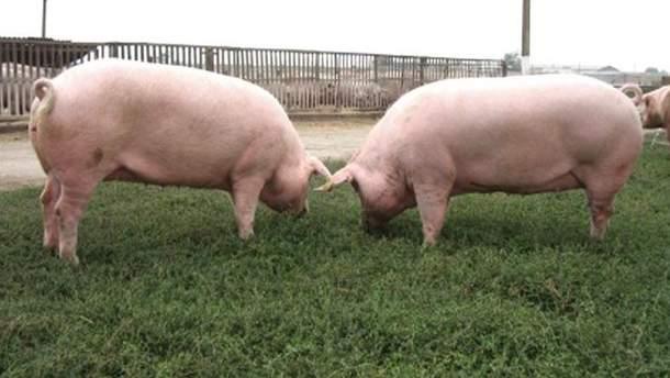Заражених свиней вилучають