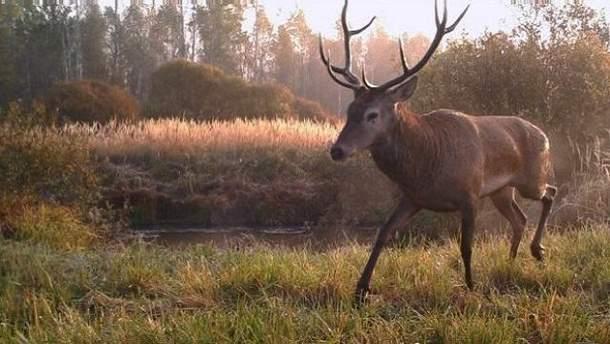 Дика природа в Чорнобильській зоні відновлюється