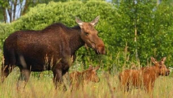 У Чорнобилі чудово себе почувають чимало рідкісних тварин