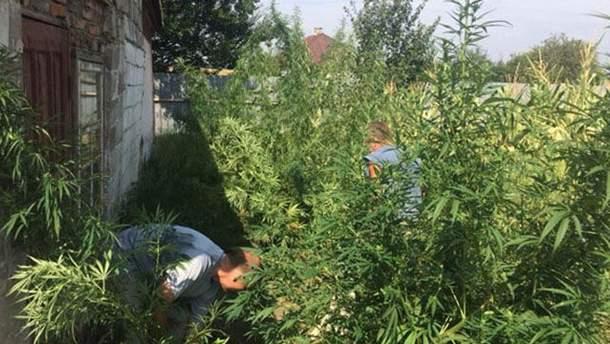 На подвір'ї у жителя Донеччини знайшли коноплі на 300 тисяч гривень