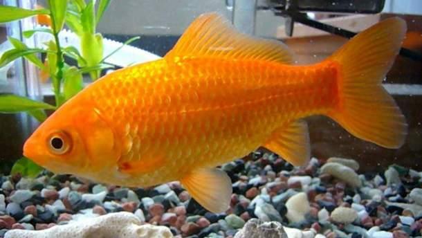 Здичавілі рибки завдають серйозної шкоди довкіллю