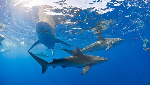Акулы у берегов Гавайев