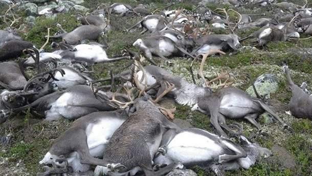 Тіла загиблтх оленів