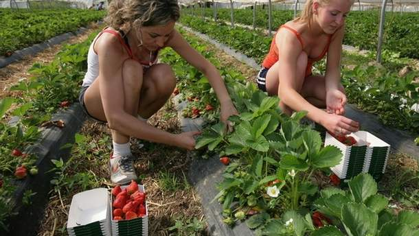 Работники собирают клубнику