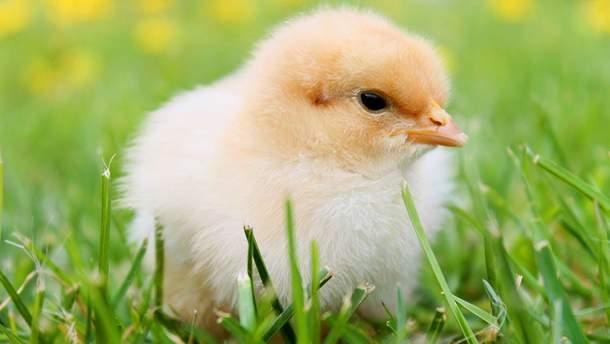 Что появилось первым: курица или яйцо