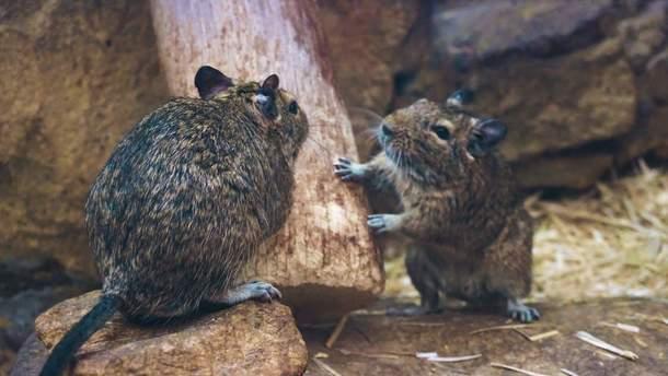 Миші вперше почали жити з людьми