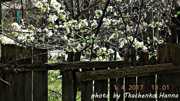 В Ізмаїлі розцвіли дерева