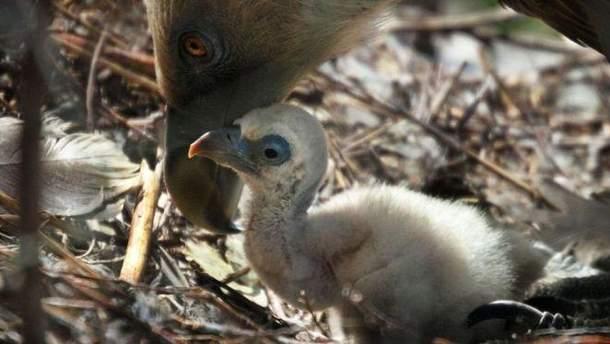 Грифи-геї успішно висиділи яйце в амстердамському зоопарку