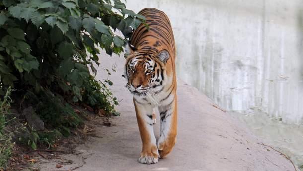 Разгневанные инвесторы зоопарка бросили осла в вольер с тиграми