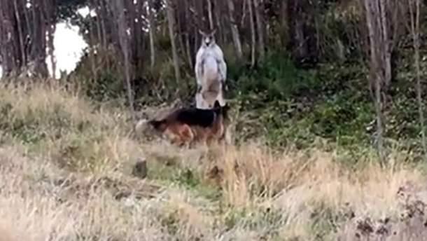 Бійку кенгуру і собаки зняли на відео